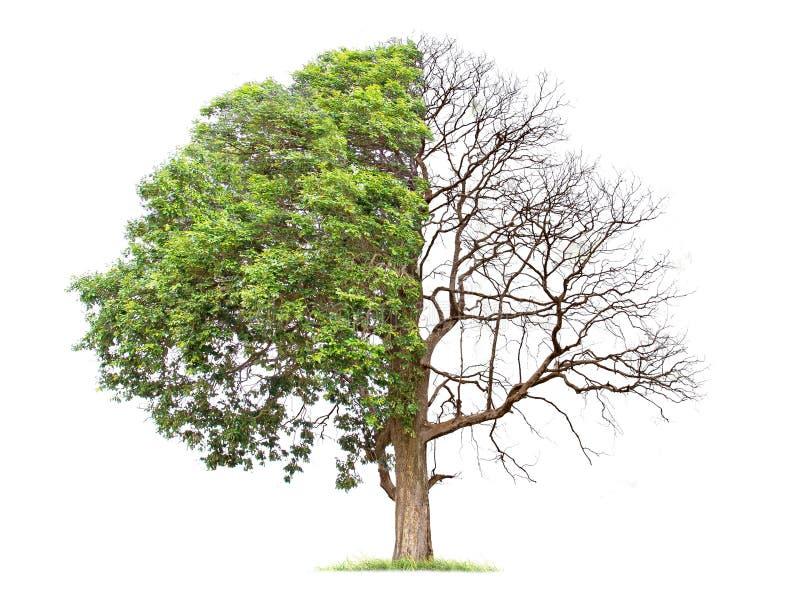 Concepto de duplicidad Árbol muerto en un árbol lateral y vivo en el diverso lado foto de archivo libre de regalías