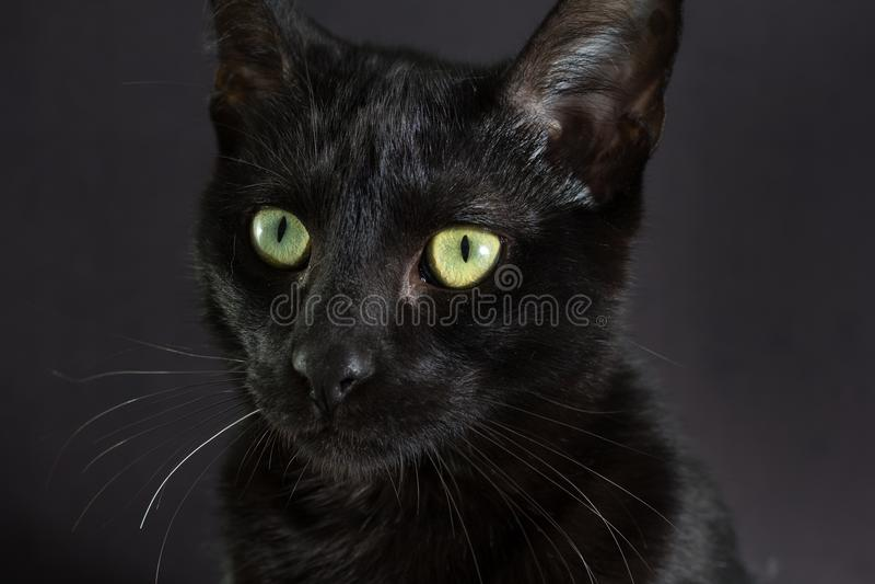 Concepto de Halloween, gato negro Retrato del lookin felino nacional imagen de archivo libre de regalías