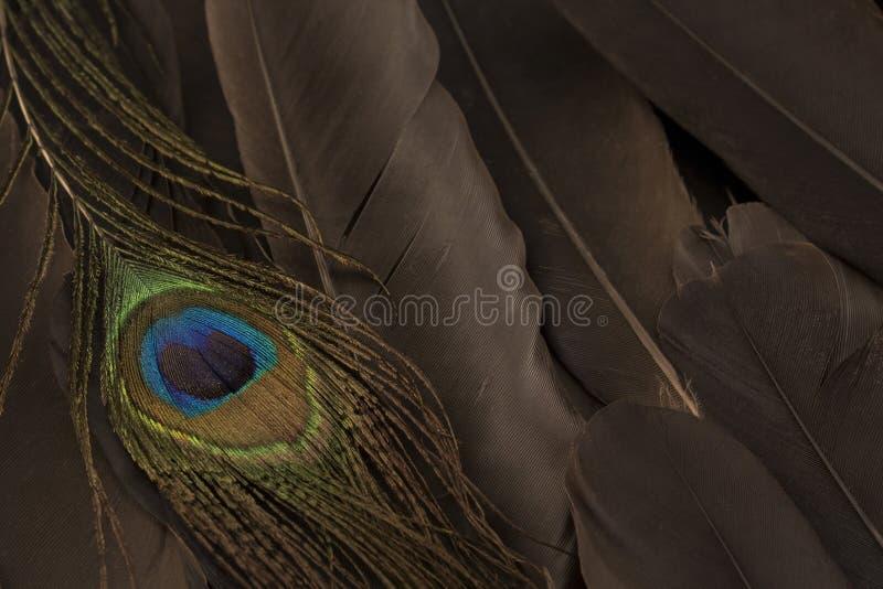 Concepto de individualidad, plumas y plumas de pavo real fotos de archivo libres de regalías