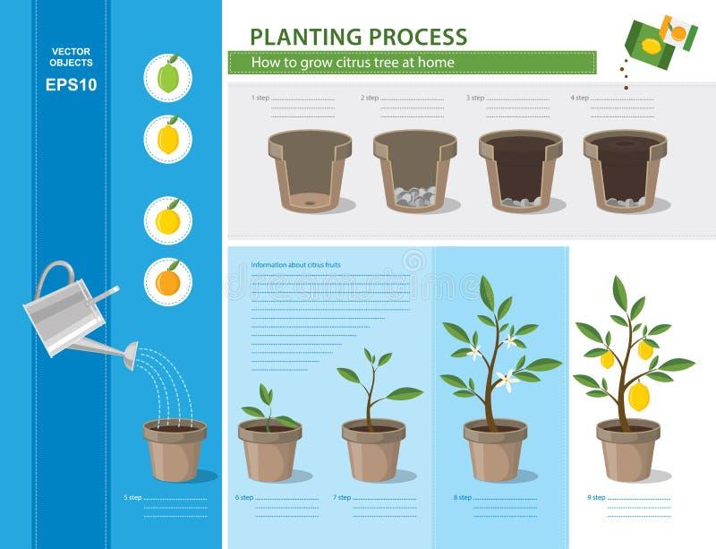 Concepto de Infographic de proceso de establecimiento en diseño plano Cómo crecer gradual fácil del árbol de fruta cítrica en cas ilustración del vector