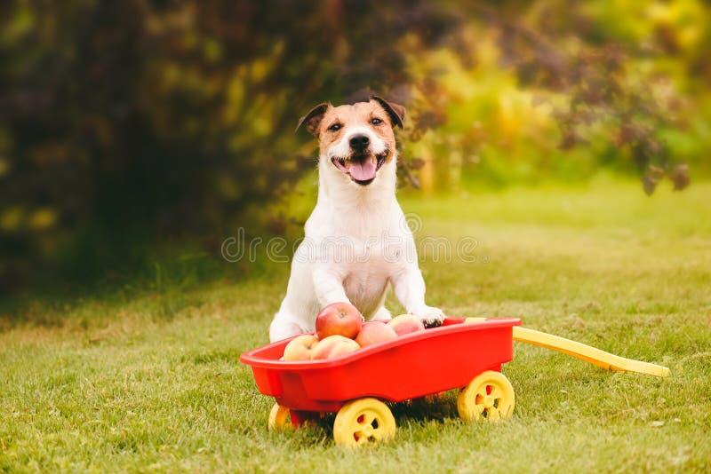 Concepto de la acción de gracias con el perro y la cosecha lindos de manzanas en carro del tirón imágenes de archivo libres de regalías