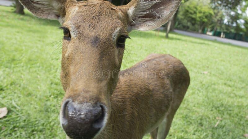 Concepto de la cabeza del verde del jardín de la mirada de la mirada fija de los ciervos fotografía de archivo libre de regalías