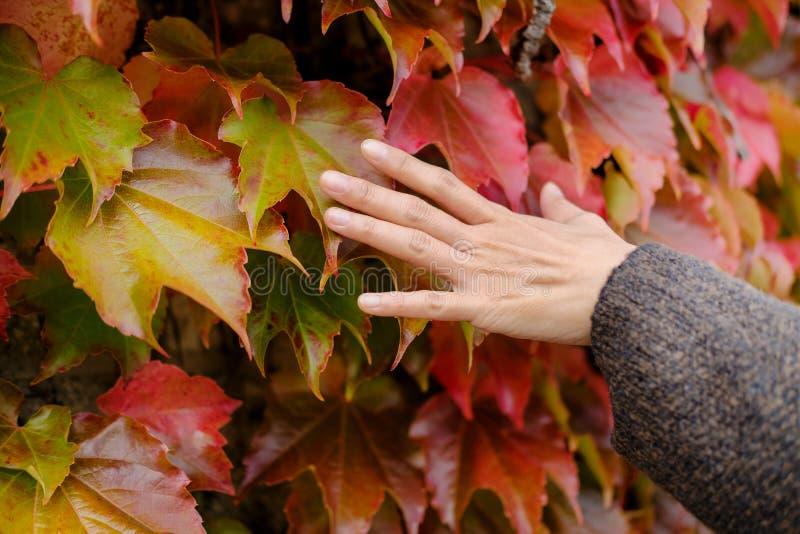 Concepto de la estación de la caída y del otoño Cerca para arriba de la mano de la mujer suavemente foto de archivo