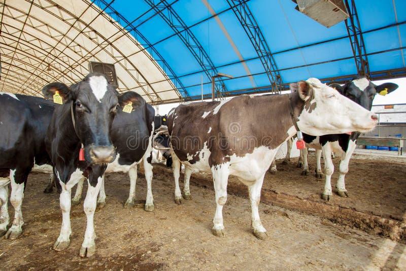 Concepto de la industria, del cultivo y de la cría de animales de la agricultura - manada de las vacas que comen el heno en estab imagenes de archivo