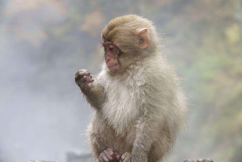 Concepto de la naturaleza y de la fauna - macaque o mono japonés de la nieve en aguas termales del parque del jigokudani imagen de archivo libre de regalías