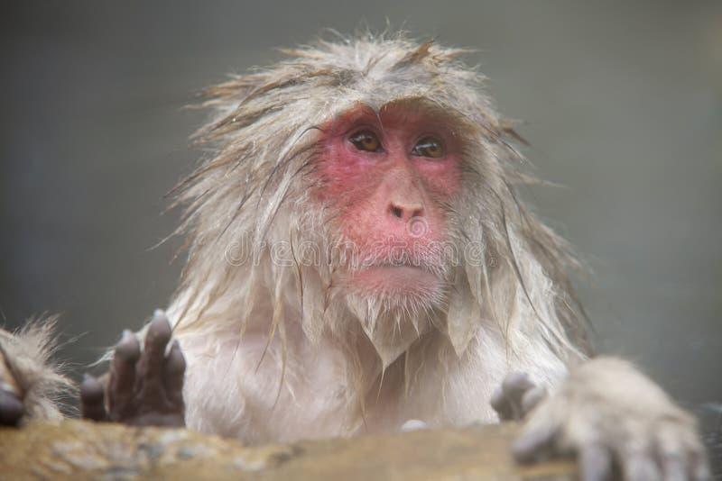 Concepto de la naturaleza y de la fauna - macaque o mono japonés de la nieve en aguas termales del parque del jigokudani foto de archivo