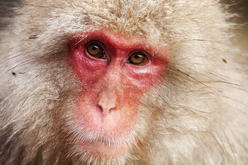Concepto de la naturaleza y de la fauna - macaque o mono japonés de la nieve en aguas termales del parque del jigokudani fotografía de archivo