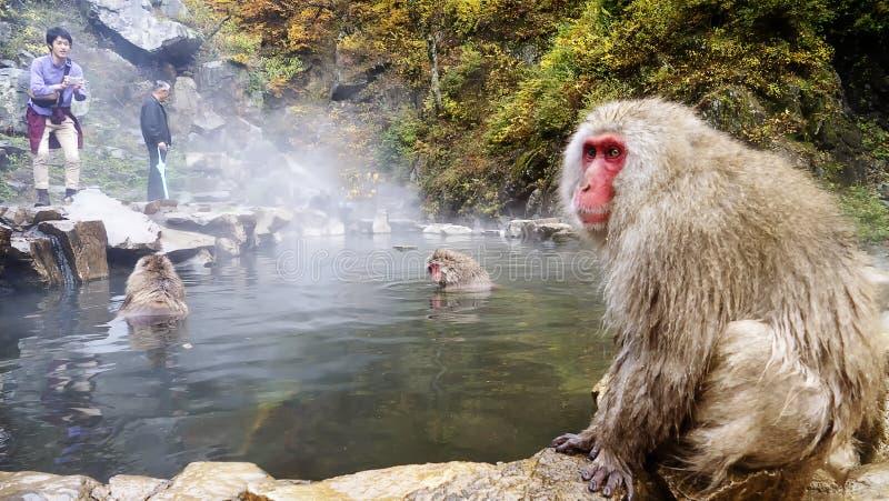 Concepto de la naturaleza y de la fauna - macaque o mono japonés de la nieve en aguas termales del parque del jigokudani fotografía de archivo libre de regalías