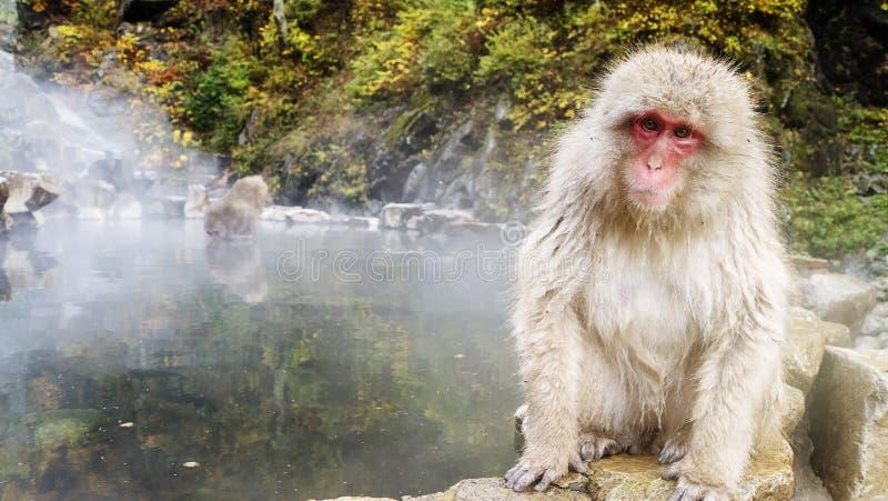 Concepto de la naturaleza y de la fauna - macaque o mono japonés de la nieve en aguas termales del parque del jigokudani foto de archivo libre de regalías