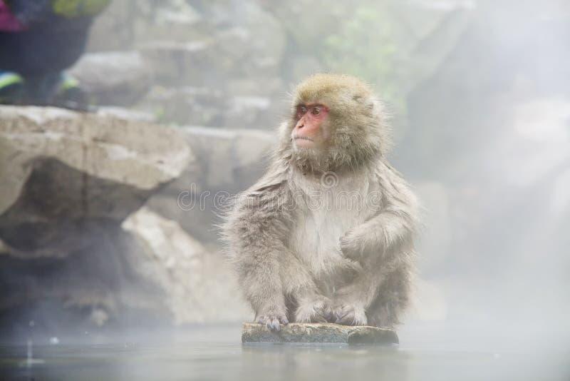 Concepto de la naturaleza y de la fauna - macaque o mono japonés de la nieve en aguas termales del parque del jigokudani imagen de archivo