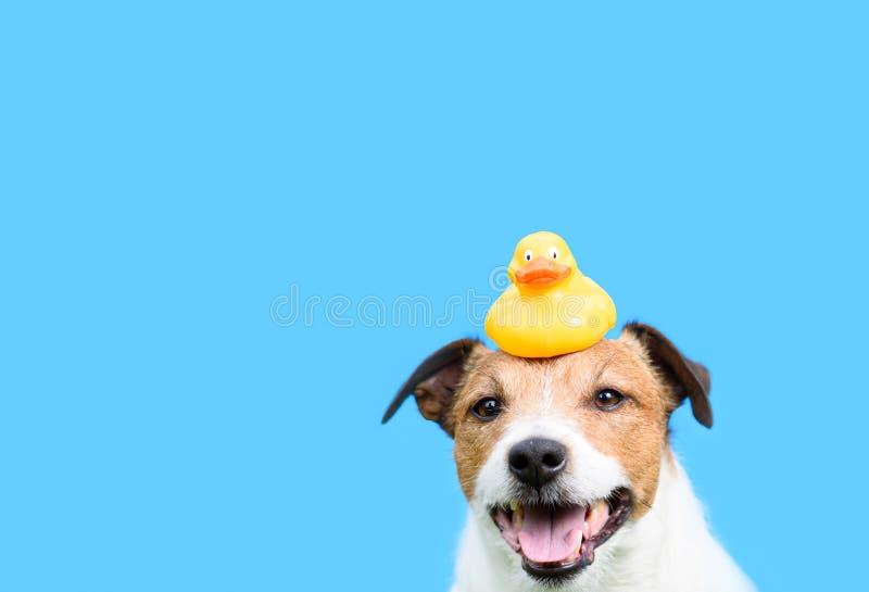 Concepto de la preparación, de la higiene y del cuidado con el perro que sostiene el pato de goma amarillo en la cabeza fotografía de archivo