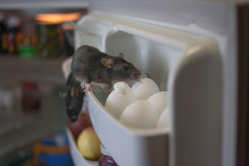 Concepto de la rata del par?sito las ratas son grises en el refrigerador para el pollo fotos de archivo