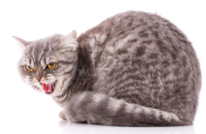 Concepto de los animales domésticos, de los animales y de los gatos - gato británico criado en línea pura en un fondo blanco fotos de archivo libres de regalías
