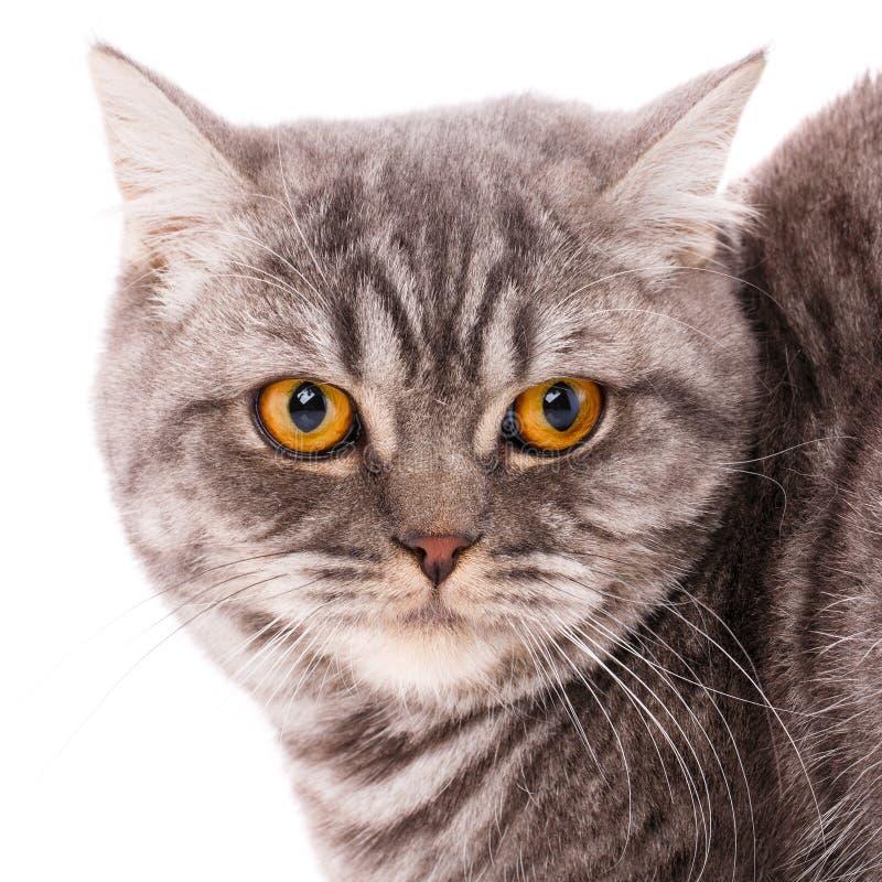 Concepto de los animales domésticos, de los animales y de los gatos - gato británico criado en línea pura en un fondo blanco fotos de archivo