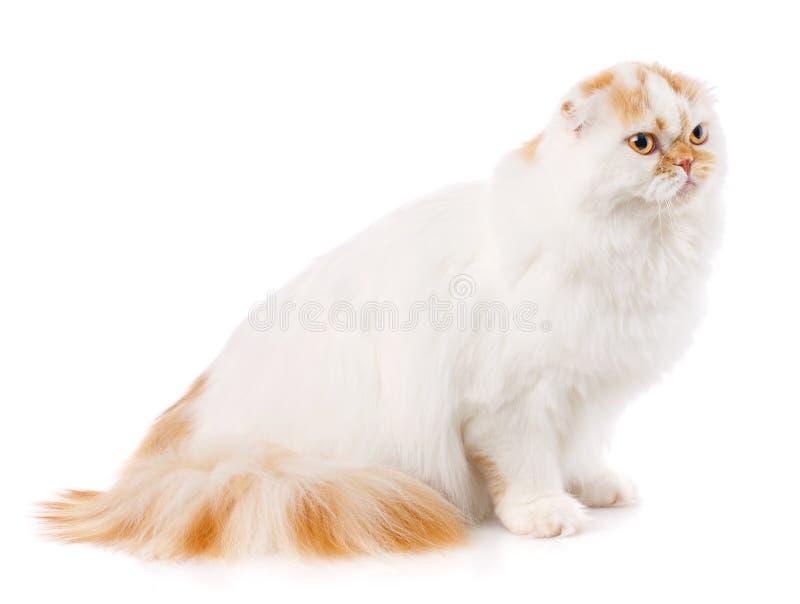 Concepto de los animales domésticos, de los animales y de los gatos - gato británico criado en línea pura en un fondo blanco fotografía de archivo