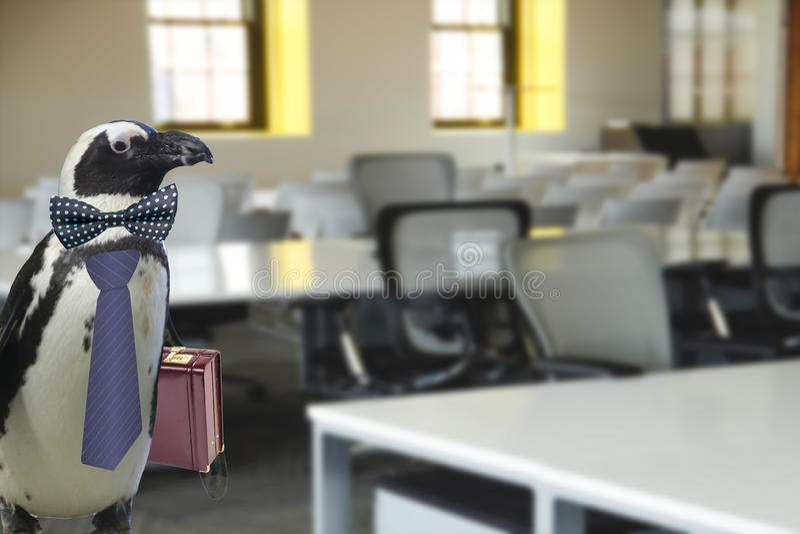 Concepto de los asuntos divertidos o del profesor de escuela de un pingüino vestido en un lazo y llevar una situación de la malet fotos de archivo libres de regalías