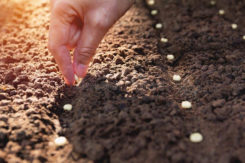 Concepto del almácigo por la mano humana, semilla sembrada humana en suelo foto de archivo libre de regalías