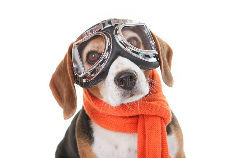 Concepto del animal doméstico del día de fiesta, perro en vidrios que vuelan fotografía de archivo