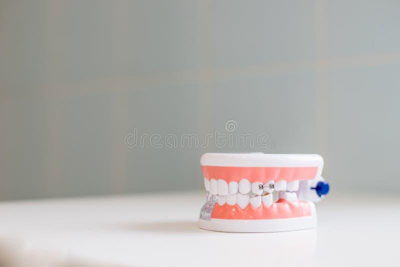 Concepto del chequeo del higienista dental Estudiante dental de la odontolog?a del diente que aprende los dientes modelo de ense? fotos de archivo libres de regalías