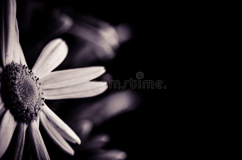 Concepto del entierro del crisantemo fotos de archivo libres de regalías