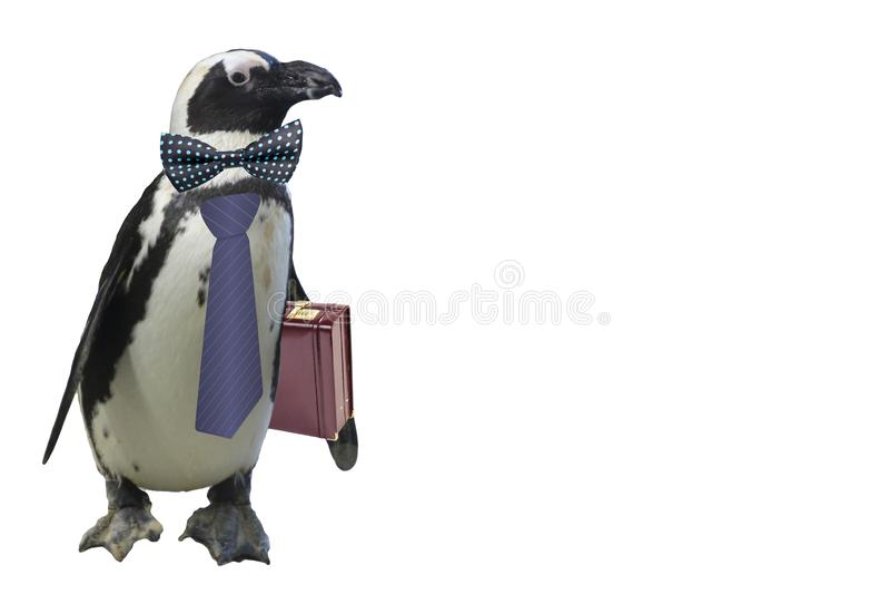 Concepto del pingüino de los asuntos divertidos o del profesor de escuela aislado en un fondo blanco foto de archivo libre de regalías