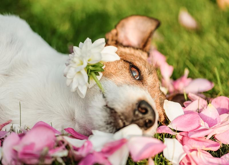 Concepto floral con los pétalos de la flor y de rosa de la dalia de la tenencia del perro para el día de fiesta del día de tarjet foto de archivo