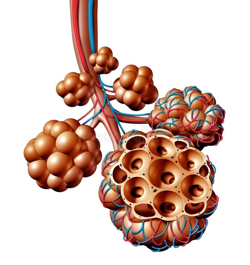 Concepto humano de la respiración de la anatomía de los alvéolos pulmonares ilustración del vector