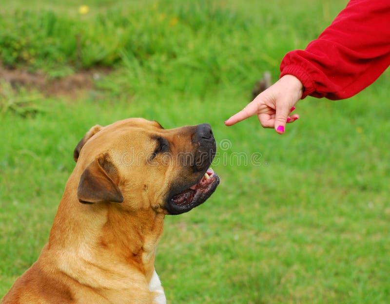 Concepto obediente del perro imagen de archivo