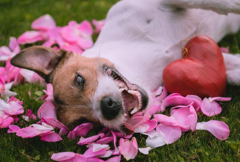 Concepto romántico para el día de tarjeta del día de San Valentín con el corazón y el perro rojos en los pétalos de rosas imagen de archivo