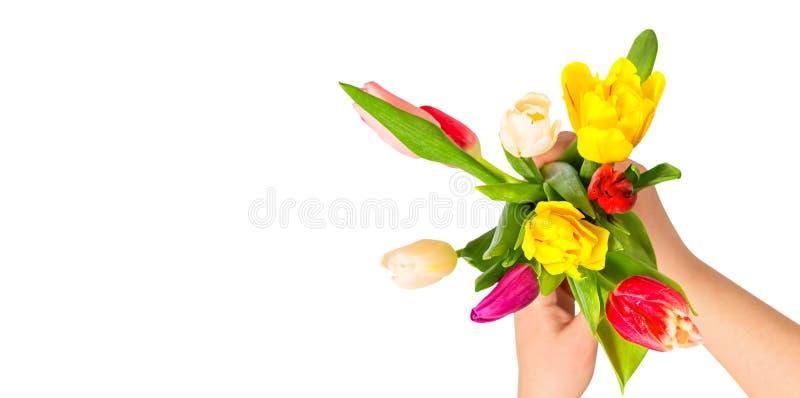 Concepto rom?ntico Ciérrese para arriba de las flores coloridas del tulipán en manos femeninas contra el fondo aislado blanco Flo imagen de archivo libre de regalías