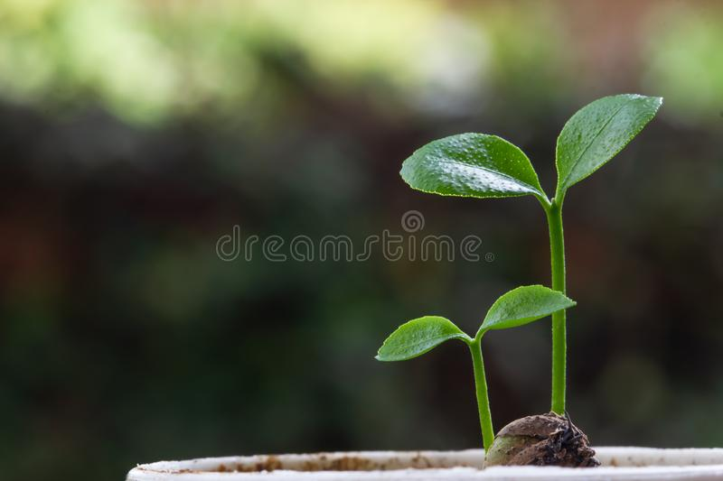 Concepts about the environment and the growth of natural trees. Small plant or sprout growing on good soil on green background.  stock image