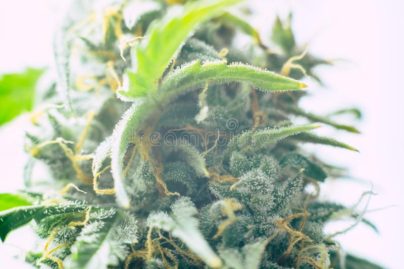 Concepts legalizing weed Beautiful buds before harvest. cannabis grow indoor Macro shot sugar trichomes cbd thc concepts of grow. Medicinal purposes. Concepts stock images