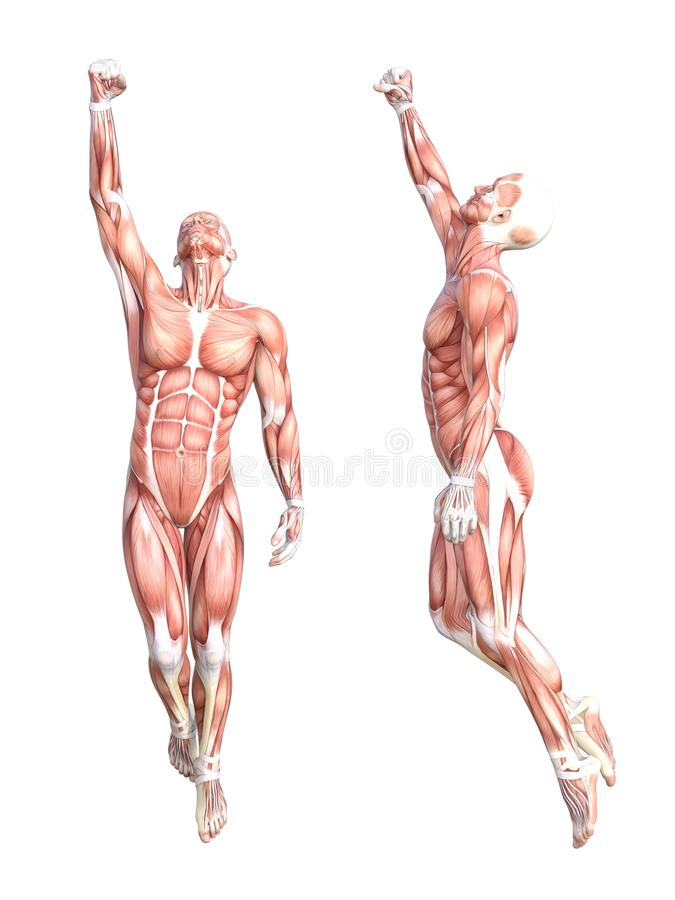 Anatomy Healthy Skinless Human Body Muscle System Stock Illustration ...