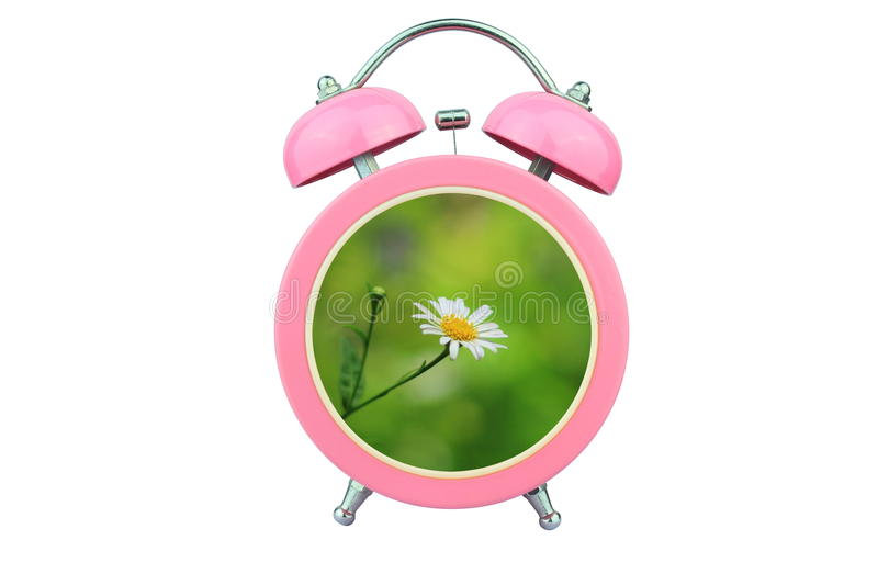 Conceptual art time to relax : white cosmos flower within pink alarm clock isolated on white background. Conceptual art : time to relax : white cosmos flower royalty free stock photo