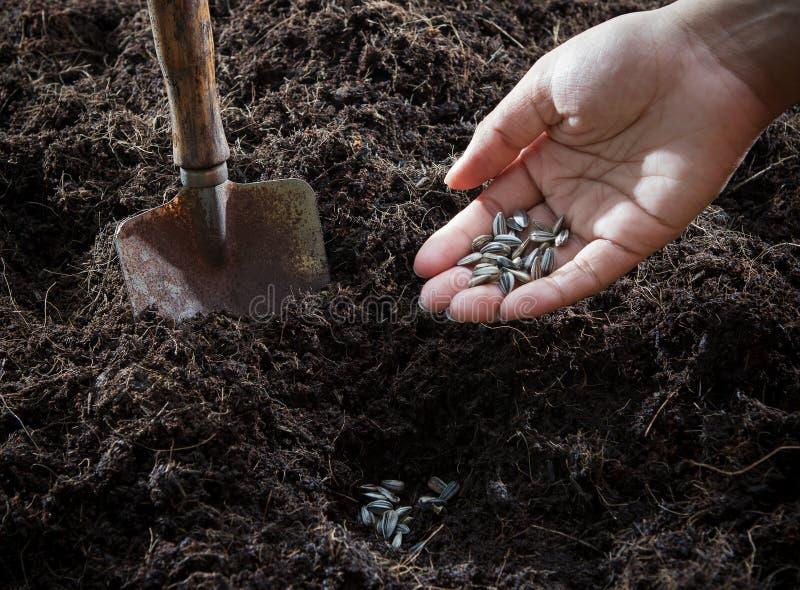Conceptual da planta da mão e da semente de girassóis dentro à plantação assim fotografia de stock royalty free