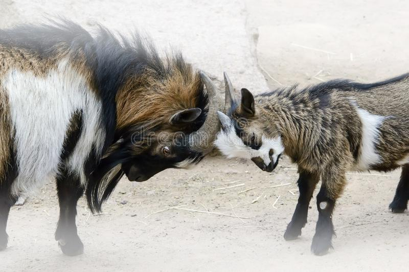 Conceptual image of the confrontation, two young and old goats a stock images