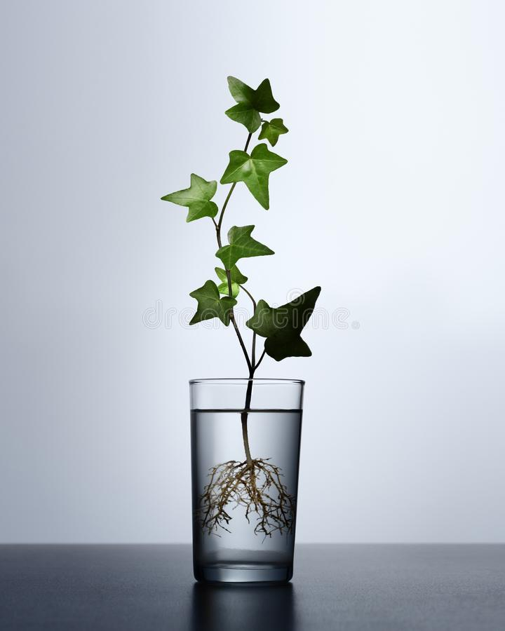Ivy plant with roots royalty free stock images