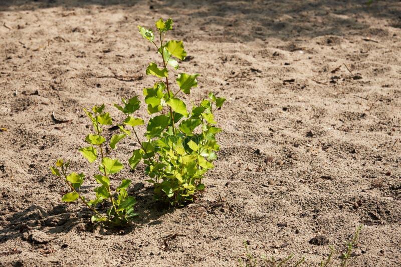 Conceptuele fotografie Dorst voor het Leven Een kleine spruit van populier groeide alleen in het zand stock foto