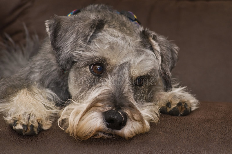 Concerned miniature schnauzer dog laying down royalty free stock photos