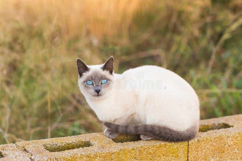 Concetto degli animali di pedigree e degli animali domestici - ritratto del gatto siamese con gli occhi azzurri immagine stock
