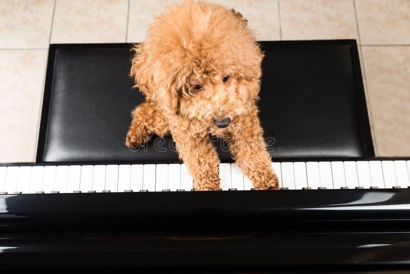 Concetto del barboncino sveglio che gioca pianoforte a coda dritto immagini stock