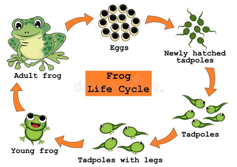 Concetto del ciclo di vita della rana illustrazione di stock