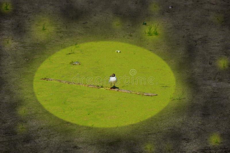 Concetto del gabbiano invaso dell'inquinamento ambientale di ecologia su uno stagno sporco fotografie stock libere da diritti