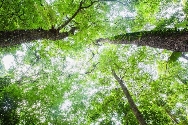 Concetto dell'ambiente Sun della primavera che splende tramite il baldacchino del legno degli alberi alti Luce solare in foresta, fotografia stock libera da diritti