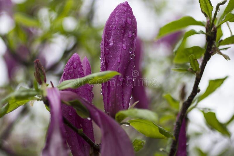 Concetto dello sfondo naturale: i germogli rosa della magnolia si chiudono su, là sono gocce di pioggia sui petali immagine stock libera da diritti