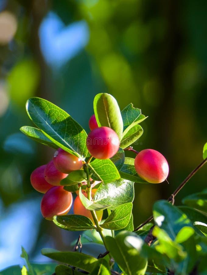 Concetto dello sfondo naturale le carandá tropicali del Carissa, Carunda, Karonda semina variopinto maturo sull'albero Priorit? b immagini stock libere da diritti