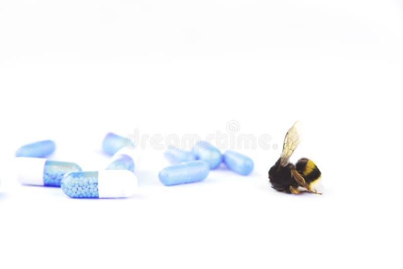 Concetto di allarme della natura: vicino su dei morti del Bombus del bombo nel fuoco selettivo su fondo bianco con le medicine ch immagini stock