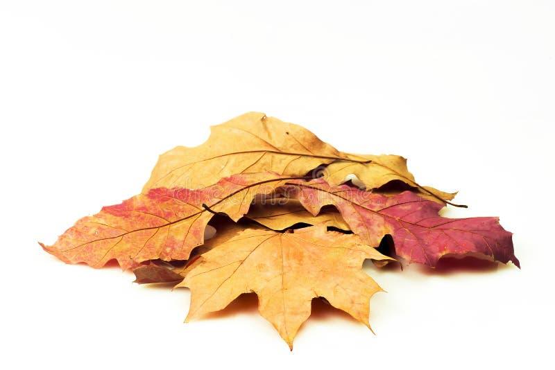 Concetto di autunno, foglie variopinte su un fondo bianco immagini stock