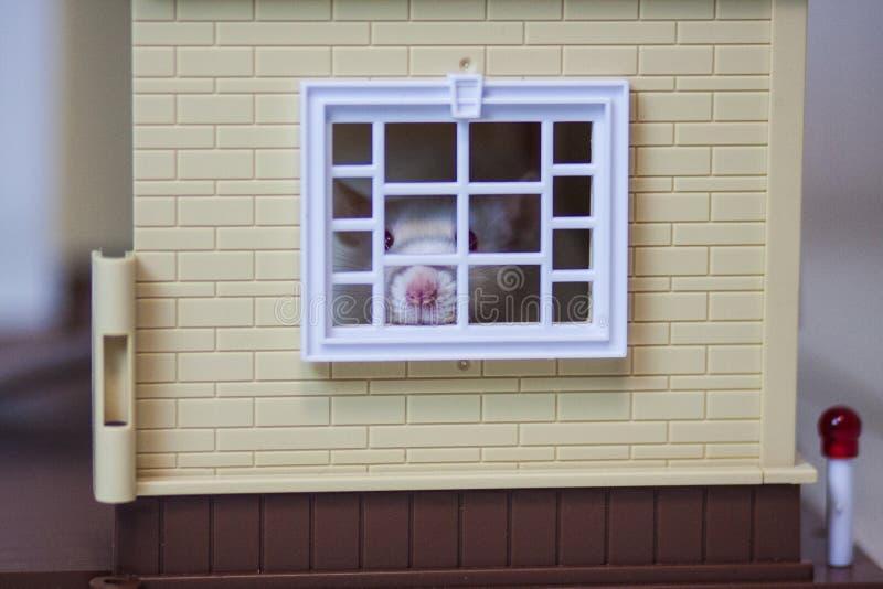 Concetto di claustrofobia Topo nella Camera Ratto bianco immagine stock