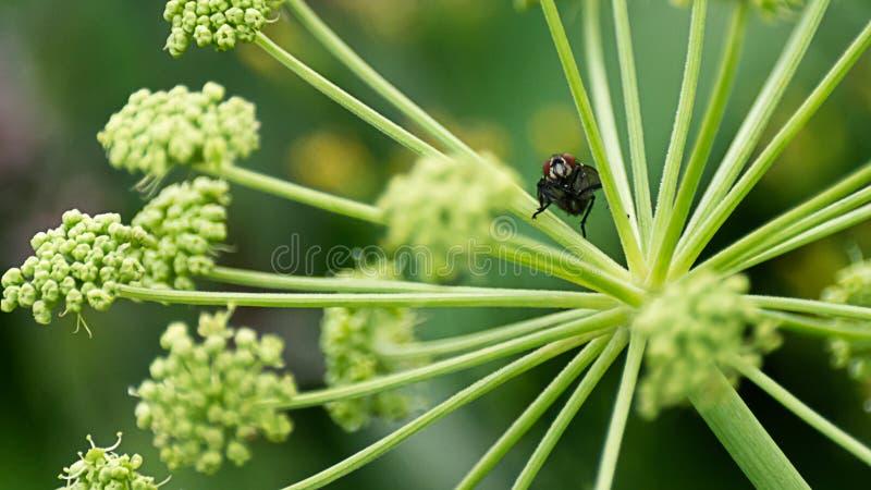 Concetto di curiosità: mosca nera che si siede su una pianta del prato e che esamina la macchina fotografica, fondo vago fotografia stock
